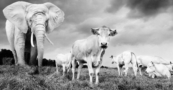 elephant_cows